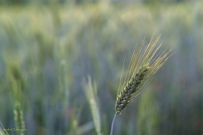 Grain-of-Wheat---Desktop-Wallpaper---Michael-J
