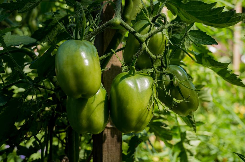 TomatoesL1003203-1